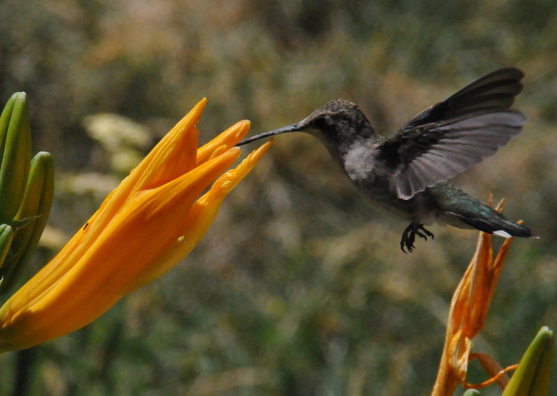 a hummingbird near pahrump, nv drinking from a flower